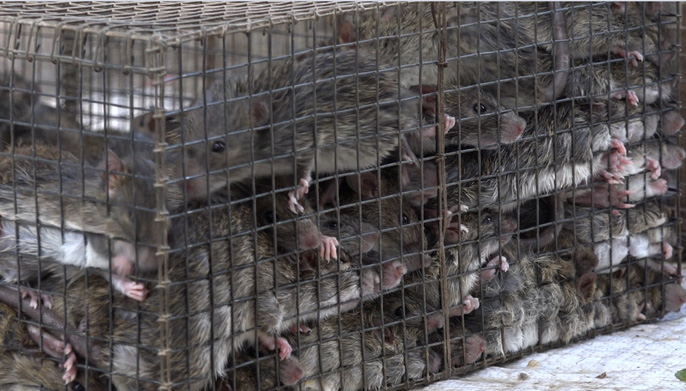 Rat hunting season in south-west, social news, vietnamnet bridge, english news, Vietnam news, news Vietnam, vietnamnet news, Vietnam net news, Vietnam latest news, vn news, Vietnam breaking news