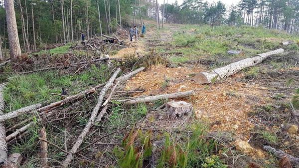 Lam Dong, Phi Lieng protection forest, pine trees, illegally cut down, Vietnam economy, Vietnamnet bridge, English news about Vietnam, Vietnam news, news about Vietnam, English news, Vietnamnet news, latest news on Vietnam, Vietnam
