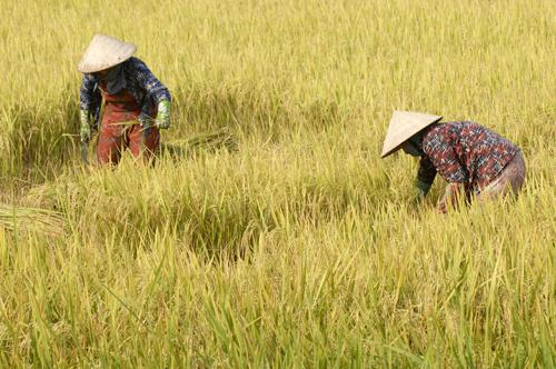 bay nui, an giang, harvest season