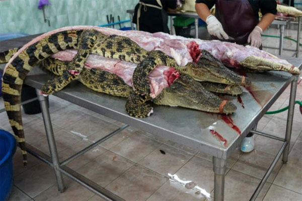 Thought You Have Seen It All! Know About The Largest Crocodile Farms In Thailand That Will Surely Amaze You 7