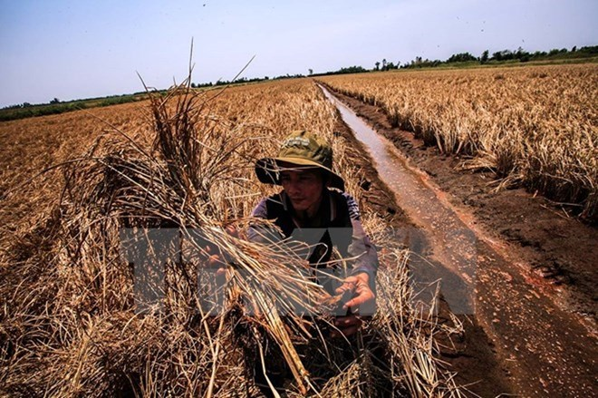 Agricultural sector takes actions against drought, social news, vietnamnet bridge, english news, Vietnam news, news Vietnam, vietnamnet news, Vietnam net news, Vietnam latest news, vn news, Vietnam breaking news