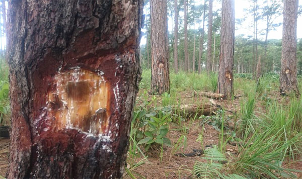Hundreds of pine trees poisoned in Lam Dong