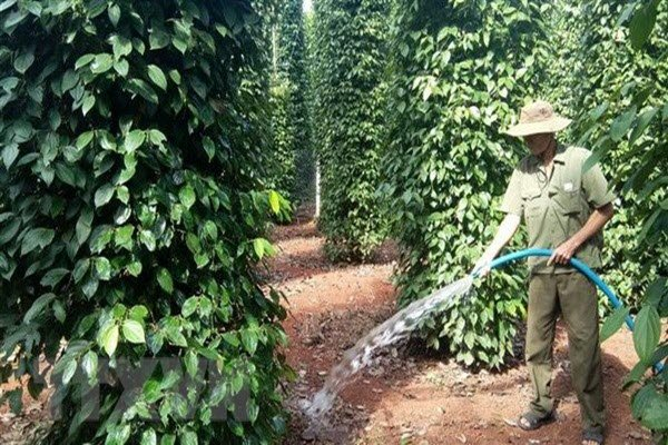 Vietnam may lose top rank as largest pepper producer: IPC, vietnam economy, business news, vn news, vietnamnet bridge, english news, Vietnam news, news Vietnam, vietnamnet news, vn news, Vietnam net news, Vietnam latest news, Vietnam breaking news