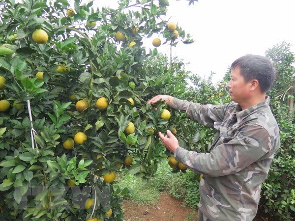 Cao Phong orange to be served on board Vietnam Airlines flights, vietnam economy, business news, vn news, vietnamnet bridge, english news, Vietnam news, news Vietnam, vietnamnet news, vn news, Vietnam net news, Vietnam latest news, Vietnam breaking news