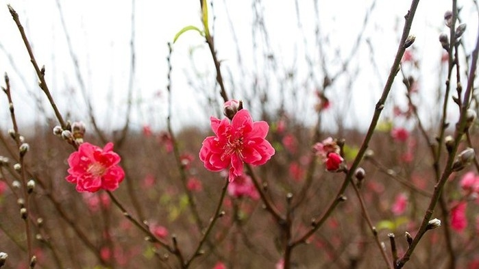 Nhat Tan peach blossoms boast beauty ahead of Tet, social news, vietnamnet bridge, english news, Vietnam news, news Vietnam, vietnamnet news, Vietnam net news, Vietnam latest news, vn news, Vietnam breaking news