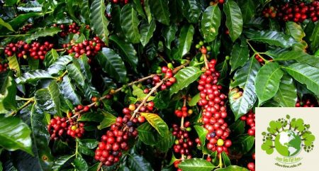 Vietnam's coffee industry in danger as farmers shift to other crops