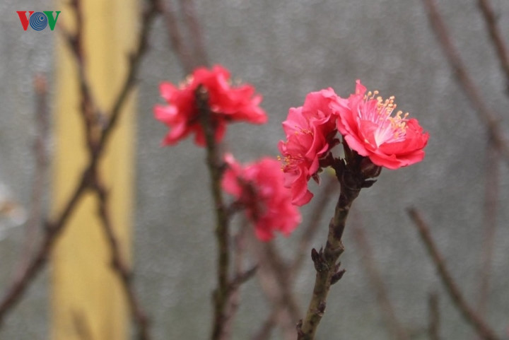 That Thon peach trees receive special care to bloom in time for Tet