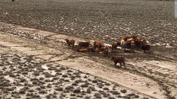 Queensland floods, 500,000 cattle survived years-long drought only to die in the rain