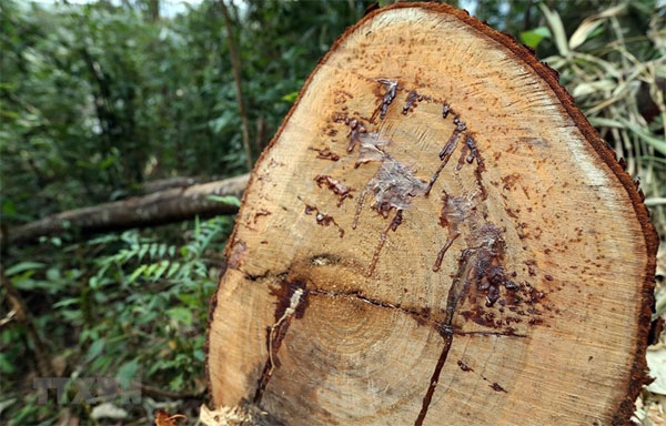 Quang Binh, illegal logging, Vietnam economy, Vietnamnet bridge, English news about Vietnam, Vietnam news, news about Vietnam, English news, Vietnamnet news, latest news on Vietnam, Vietnam