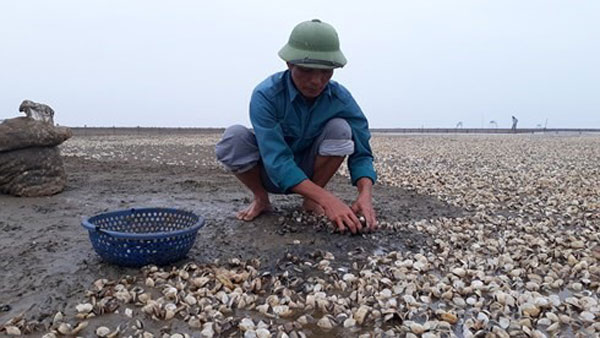 Thanh Hoa, clam farming, clams die en masse, Vietnam economy, Vietnamnet bridge, English news about Vietnam, Vietnam news, news about Vietnam, English news, Vietnamnet news, latest news on Vietnam, Vietnam