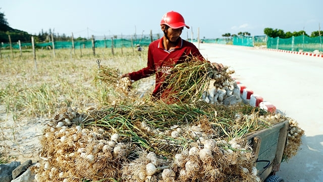 Garlic season in Ly Son, social news, vietnamnet bridge, english news, Vietnam news, news Vietnam, vietnamnet news, Vietnam net news, Vietnam latest news, vn news, Vietnam breaking news
